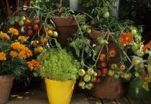 Uzgojite divne rajčice na balkonu!
