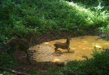 Pogledajte neodoljive prizore ljetnog osvježenja šumskih stanovnika na Velebitu